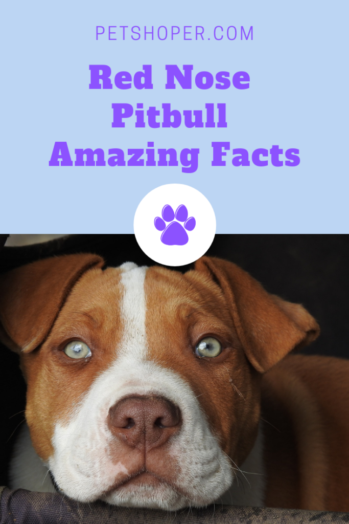 Red Nose Pitbull Amazing Facts