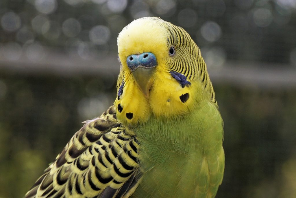 Parakeets male