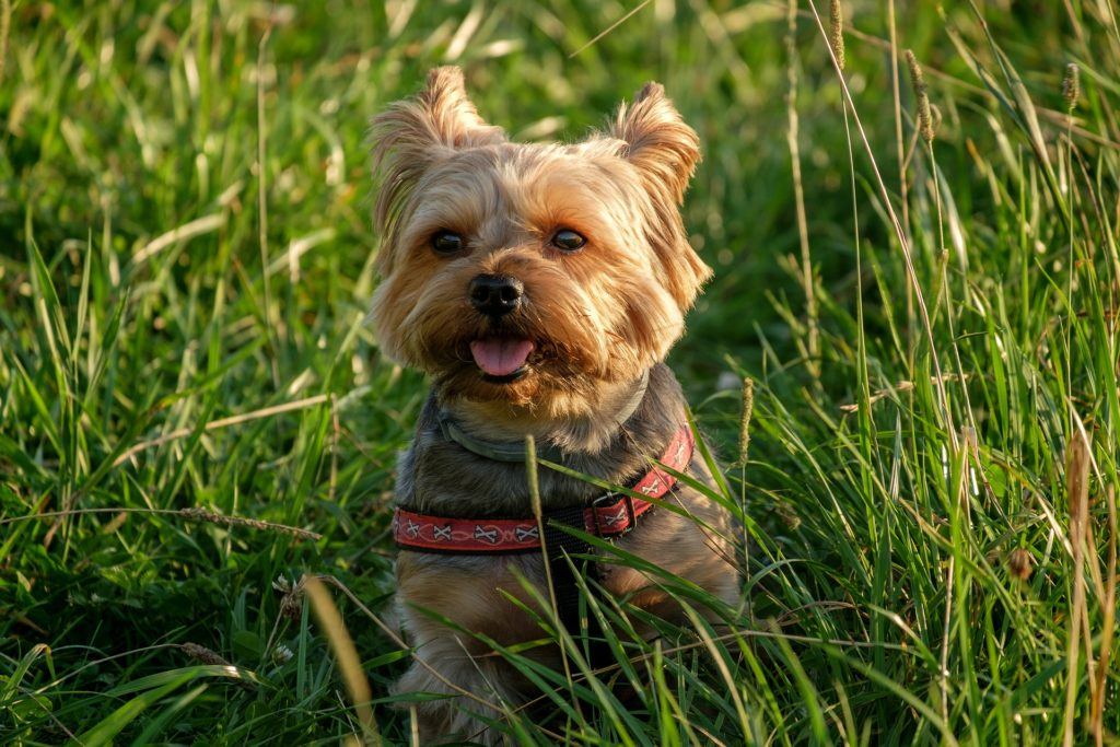 Names For Boy Puppies Yorkie