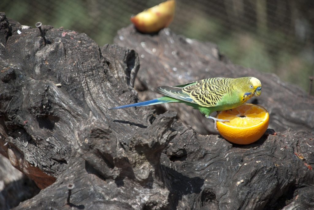 What Fruits And Veggies Can Parakeets Eat