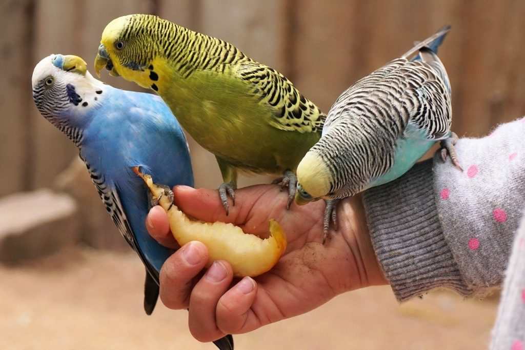 What Foods Can Parakeets Eat