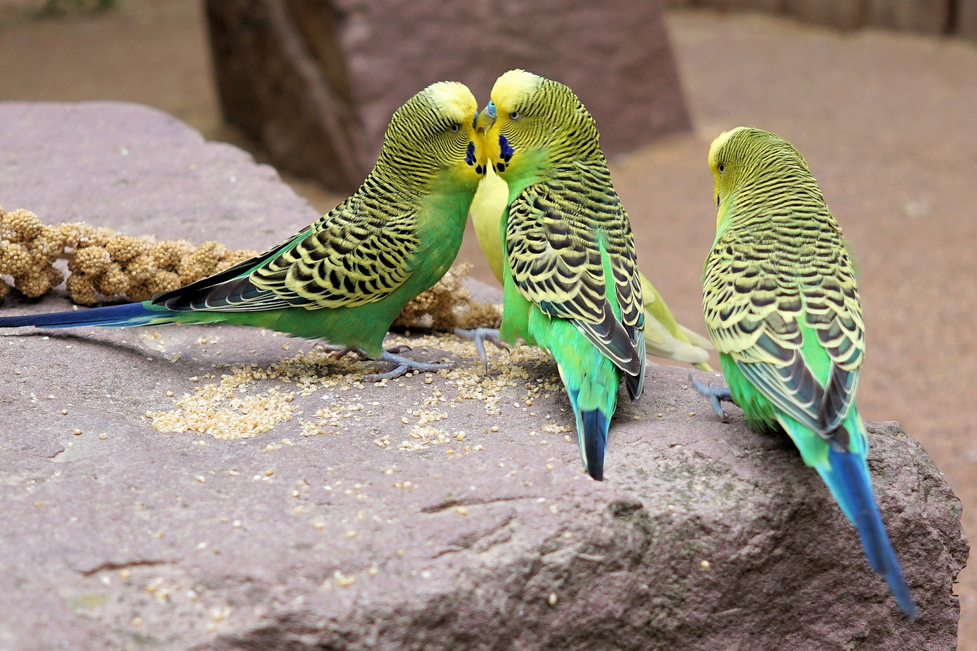 what can parakeets eat