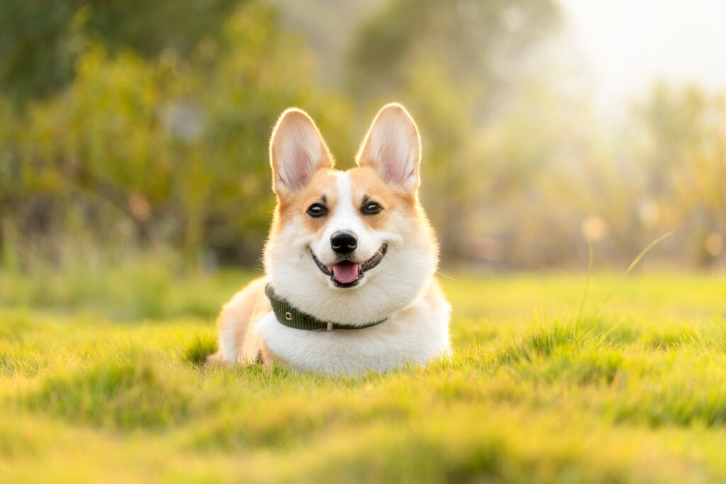 Why Don't Corgis Have Tails