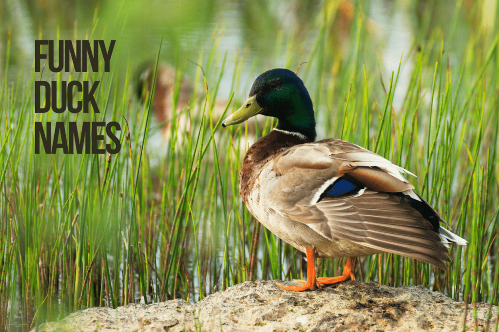 Funny Duck Names
