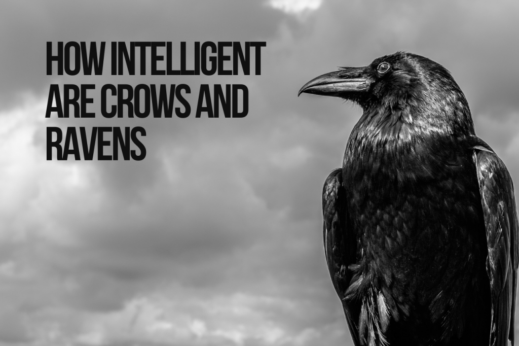 How Intelligent Are Crows and Ravens